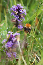 common carder bumble bee & the bugle wildflower (Ajuga reptans):