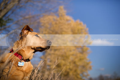 alert red hound dog in dried grasses with trees and sunshine