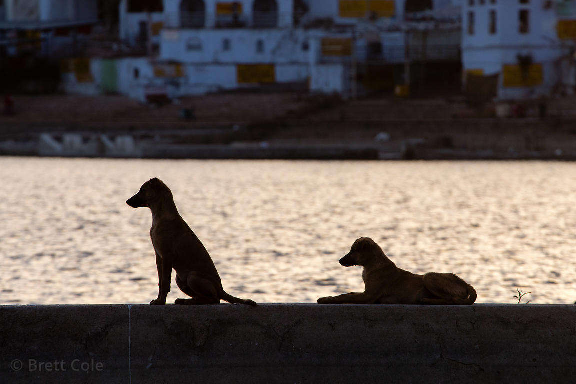 Street dogs silhouetted at sunset on holy Pushkar Lake, Pushkar, Rajasthan, India