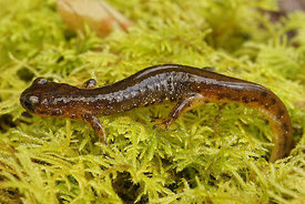 Rhyacotriton olympicus - Olympic torrent salamander