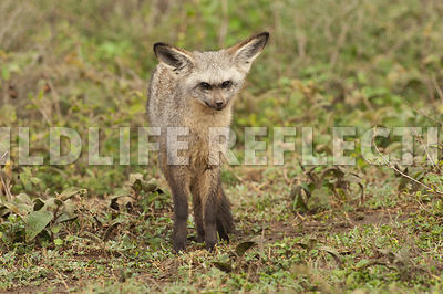 bat_eared_fox_watching_forward_1