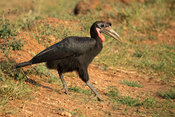 Male Abyssinian ground hornbill, Bucorvus abyssinicus, Kidepo Valley National Park, Uganda