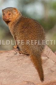 Dwarf Mongoose Golden Portrait