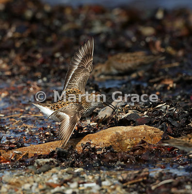 Male Dunlin (Calidris alpina) pursuing a rival with wings outstretched, Bigton Wick, Shetland