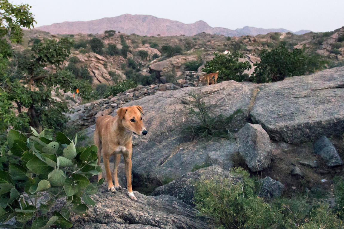 Classic India Pariah street dogs living at the Aloo Baba temple walk in the rocky desert near the Ajaypal Shiva Temple, near ...