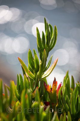 Invasive Hotentot fig {Carpobrotus edulis} on the beach, Crescent City, California