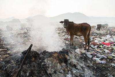Cows eat flaming garbage in the Pushkar municipal dumping ground (landfill), Pushkar, Rajasthan, India