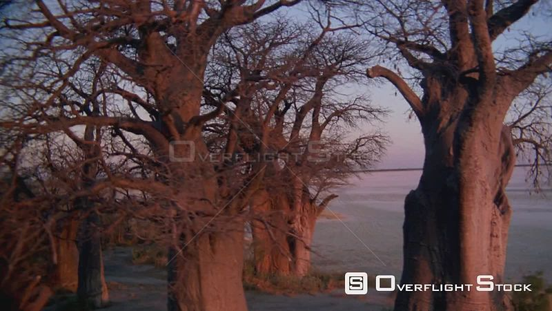 Aerial wide angle shot circle round group of baobab trees on edge of salt pan at sunset sunrise, up and over with land spit i...