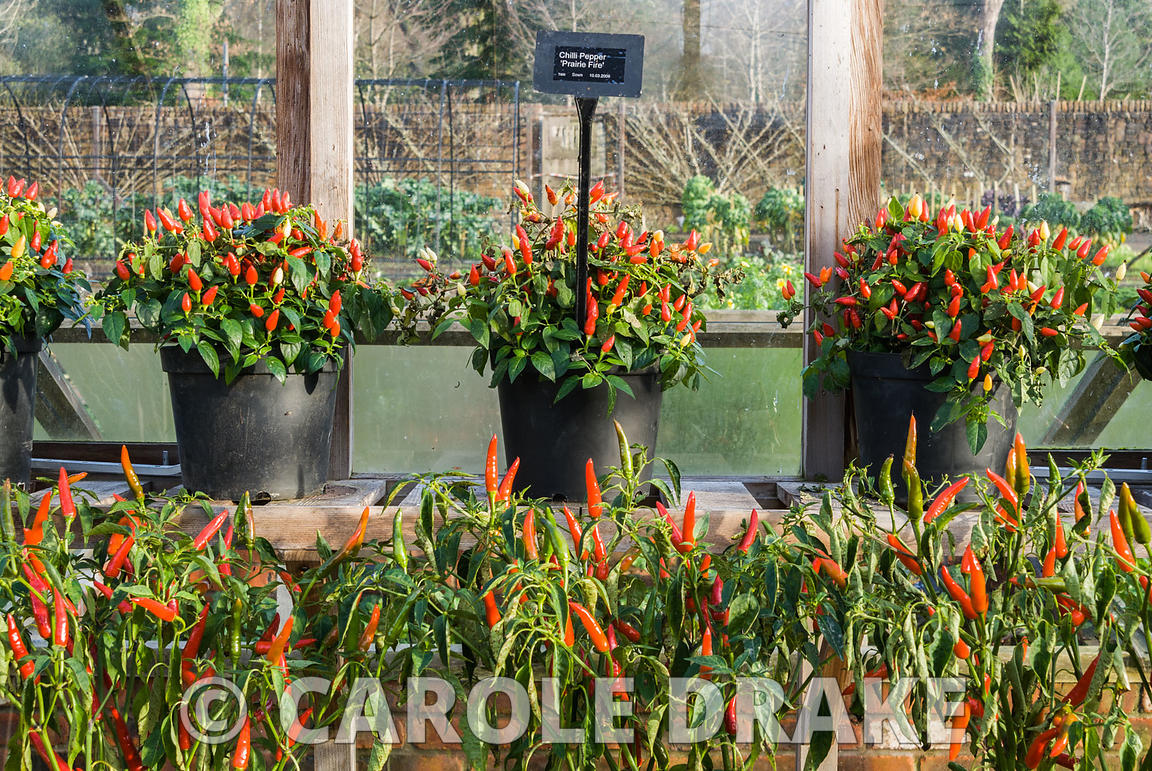 Pots of chillis covered with fruit in the greenhouse with Chilli pepper 'Prairie Fire' on the top shelf. RHS Garden Rosemoor,...