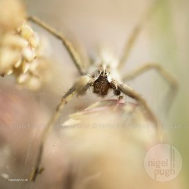 female nursery web spider - pisaura mirabilis: