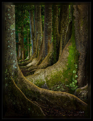 130804_Kauai_SacredForest_PD
