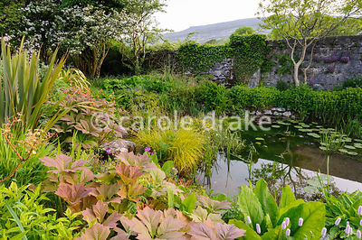 A pond beside the bridge over the Caher River, fringed with planted including rodgersias, persicaria, Carex elata 'Aurea', ly...