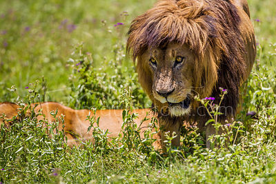 Ngoro Crator Lion - 2464