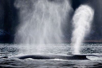 Inshore_Humpbacks
