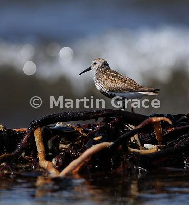 Dunlin (Calidris alpina) standing on seaweed at the shoreline, Bigton Wick, Shetland: a moderately interpolated crop of the p...