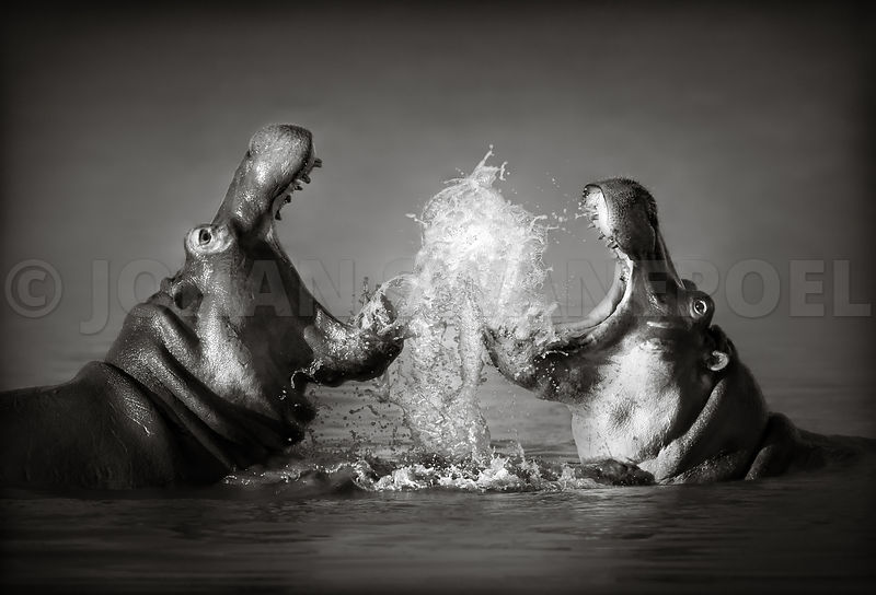 Hippopotamus fighting in the water - b&w fine art
