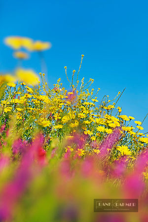 Flower meadow with yellow chamomiles and tufted vetches - Europe, Italy, Sardinia, Olbia-Tempio, Olbia, north of - digital