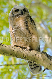 great_horned_owlet_on_branch-1
