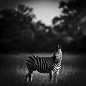 2039-Zebra_alone_in_the_bush_Botswana_2010_Laurent_Baheux
