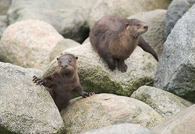 River Otter with young