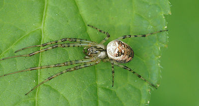 Arachnidae species, Gulke putten