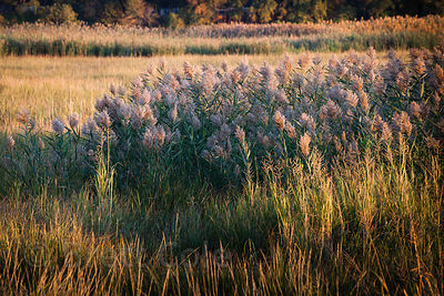 Tall grasses at a wetlands in New Jersey