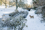 Icy river flows under Eleanor's Bridge, edged with azaleas covered with snow. Minterne, Minterne Magna, Dorchester, Dorset, D...