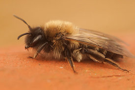 Andrena nycthemera - female