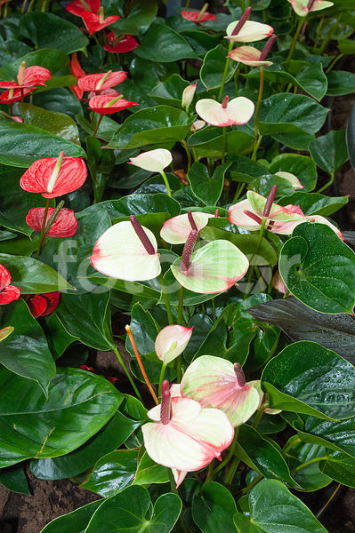 Anthurium andreanum 'Princess Amalia Sweetlips'