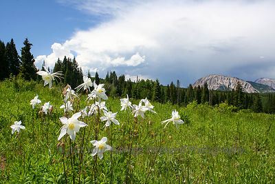 Mt Marcellina Columbines