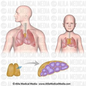 The thymus,  unlabeled