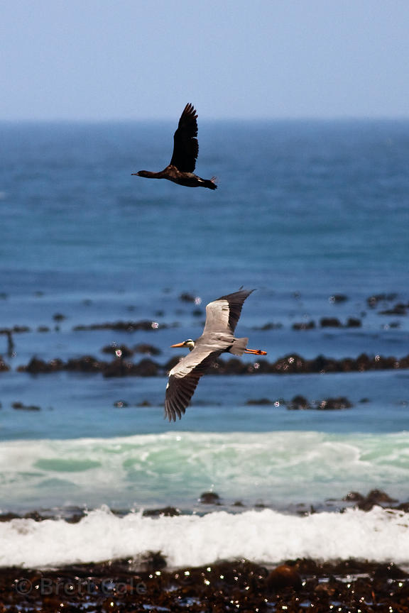 Cape cormorant (Phalacrocorax capensis) and grey heron (Ardea cinera) in flight, Gifkommetjie, Cape Peninsula, South Africa