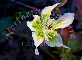 White_Hellebore_unsharpened