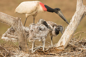 jabiru_stork_nest_close-35