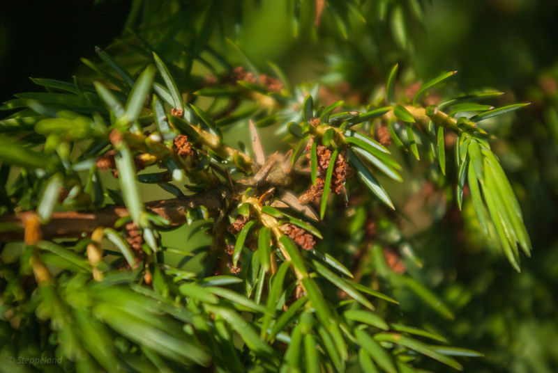 Juniperus, male branch with cones - close-up