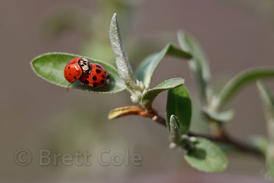 Lady beetles (Coccinella septempunctata) on a small groundcover plant, Goshen Park, Maryland