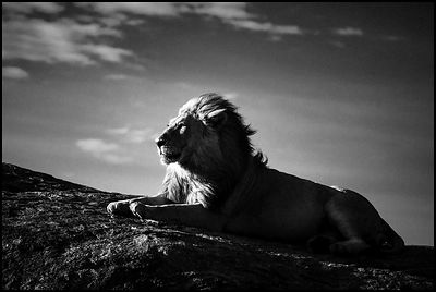 5247-Lion in the rising sunlight, Tanzania 2007 © Laurent Baheux