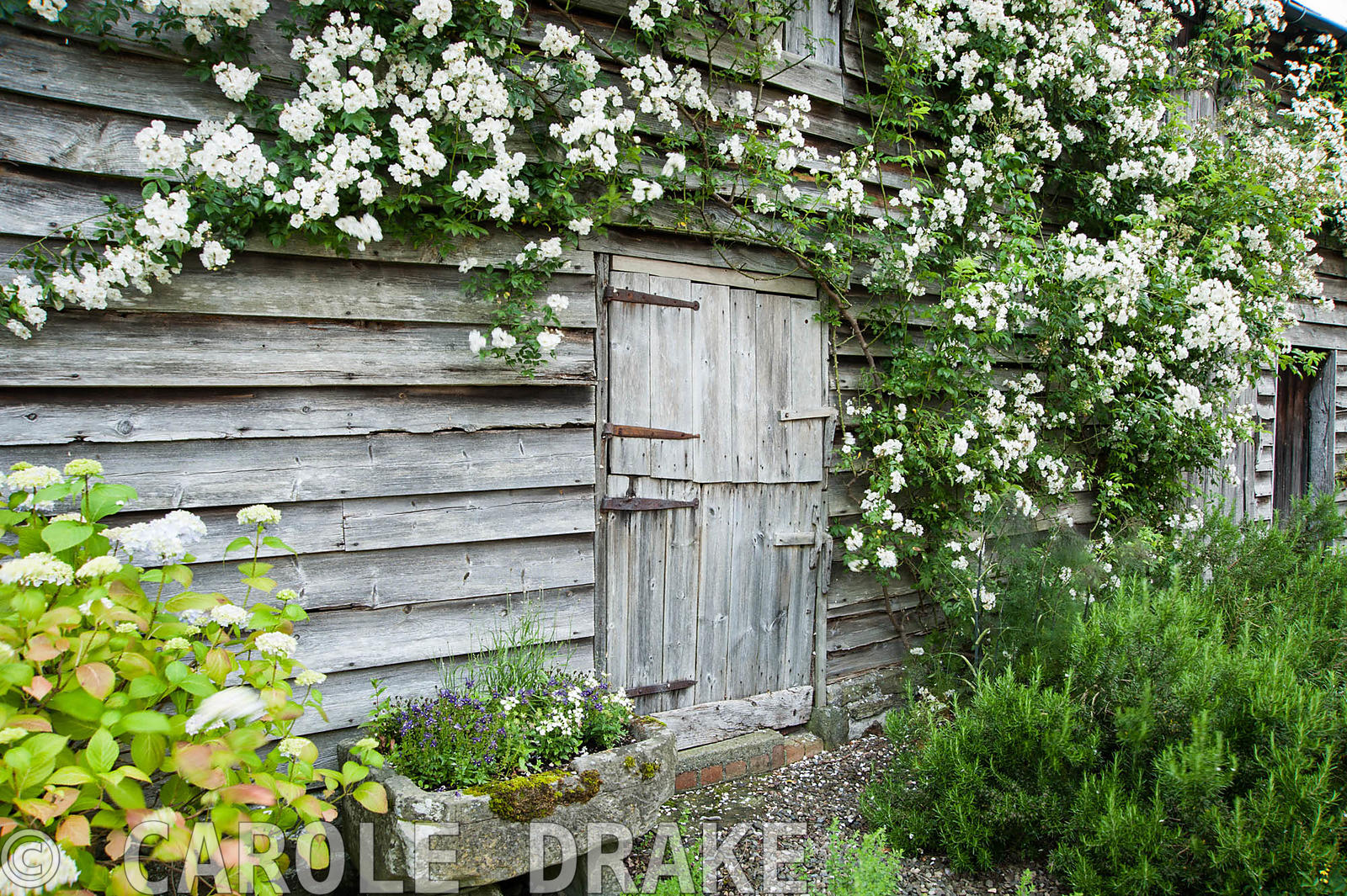 Rosa 'Rambling Rector' trained along a wooden barn with stone trough below. Ashley Farm, Stansbatch, Herefordshire, UK