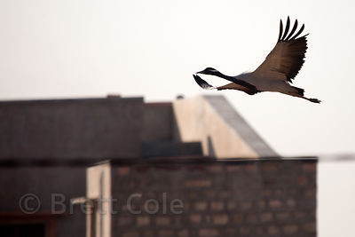 Flying Demoiselle Cranes (Anthropoides virgo) in the rural village of Khichan, Rajasthan, India