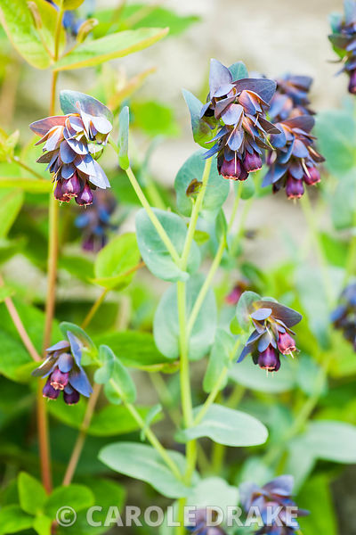 Cerinthe major 'Purpurascens', honeywort.