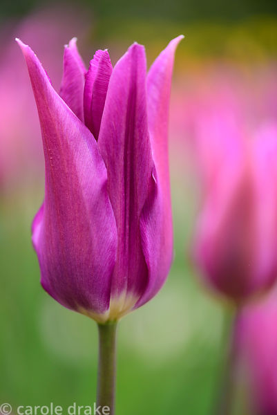 Tulipa 'Purple Dream'.