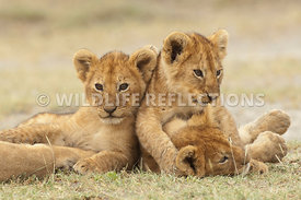 lion_cub_resting_from_wrestling_match_2