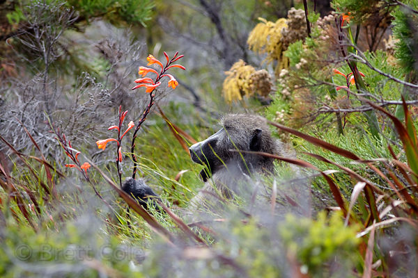 Alpha male chacma baboon from the Kanonkop Troop forages in spectacular fynbos, Smitswinkel Flats,  Cape Peninsula, South Africa