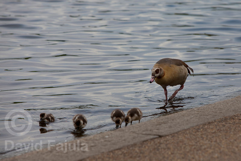 Egyptian Goose family (Alopochen Aegyptiaca) in Hyde Park's lake