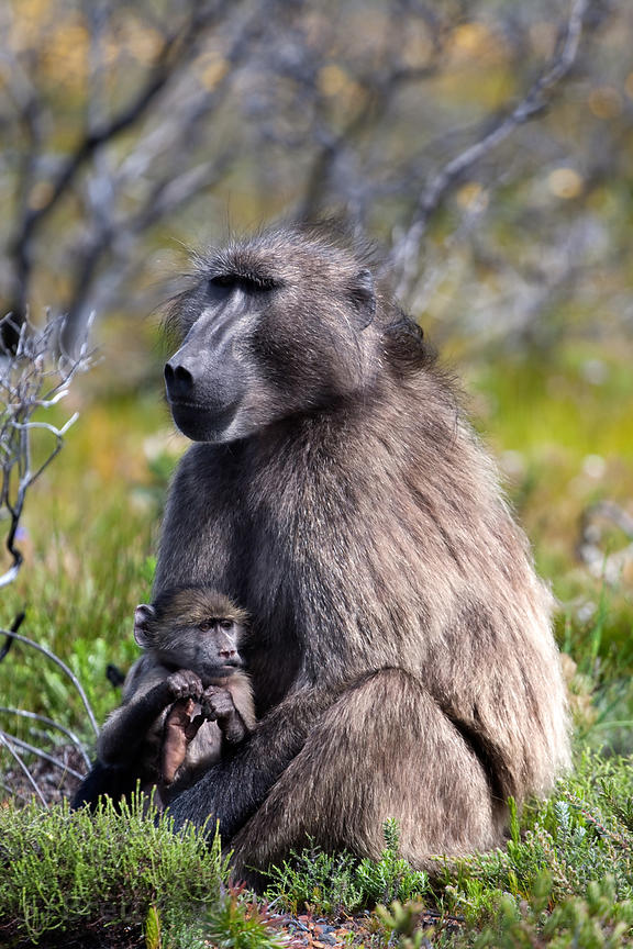 An alpha male chacma baboon sits lovingly with one of its babies, Smitswinkel Flats, Cape Peninsula, South Africa