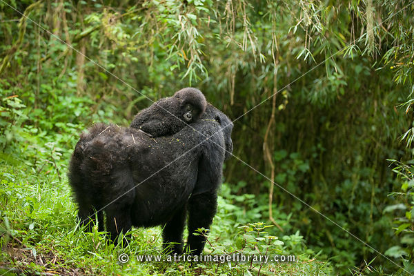 Mountain gorilla, Gorilla gorilla berengi, Volcanoes National Park, Rwanda