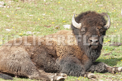 bison_bull_statuesque