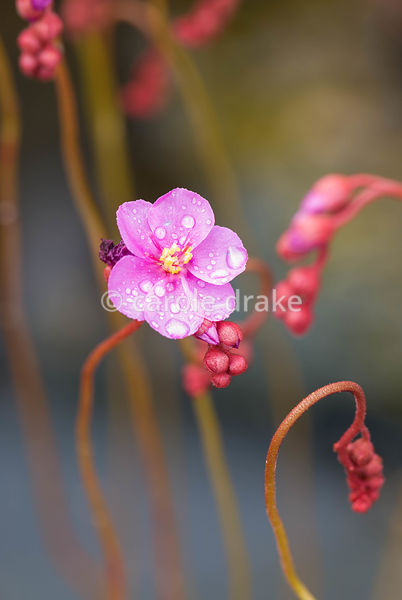 Scarlet rosettes of leaves and delicate violet-pink flowers characterise this sundew, Drosera rubrifolia. Hewitt-Cooper Carni...