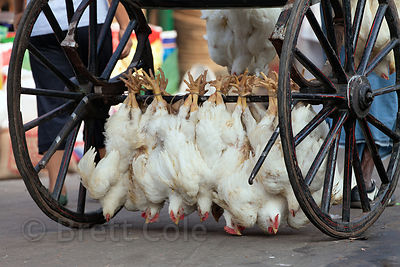 Live chickens are tied to the axle of a cart and led to slaughter at Newmarket, Kolkata, India.