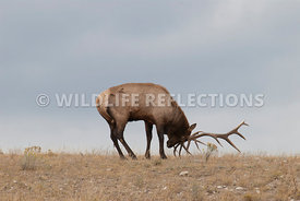 bull_elk_royal_raking